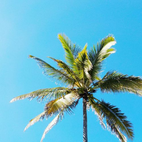 Attention la tête. Power In Nature Palm Tree Blue Sky Nature Clear Sky Tree Growth Close-up Outdoors Day No People Leaf Beauty In Nature Frond EyeEmNewHere 974 Nature LaReunion Tranquility