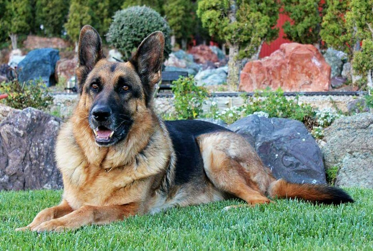 dog, pets, german shepherd, one animal, looking at camera, portrait, domestic animals, lying down, outdoors, animal themes, grass, day, friendship, no people, mammal