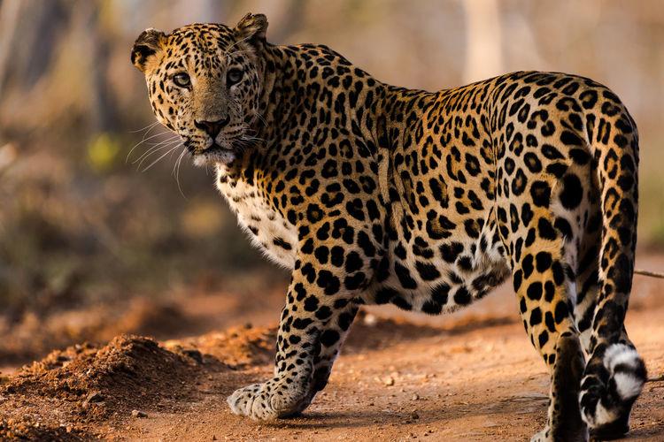 The Look of the Leopard Spotted Wildlife & Nature Wildlife Photography Wildlife Photos Cat Leopard Leopard Print Leopardo Leopards Orange And Black Predator Predators Sidephoto Wild Wildcat Wildcats Wilderness Wildlife Wildlife And Nature Wildlife Portrait Wildlife Portraits Wildlifephotographer Wildlifephotography