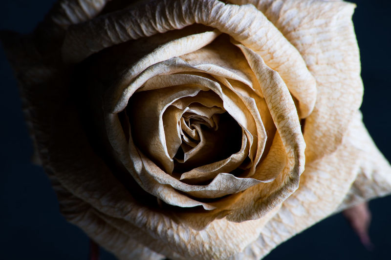 Flower Beauty In Nature Close-up Rose - Flower Flower Head Rosé Macro Shadows & Lights First Eyeem Photo