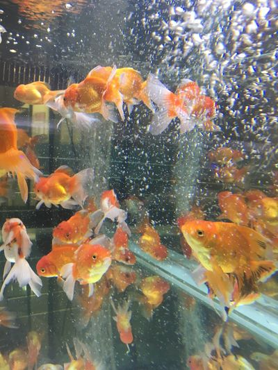 Gold fish Water