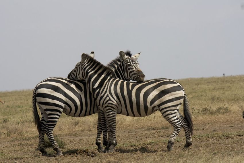 Animals Safari Serengeti Serengeti National Park Watchful Zebras