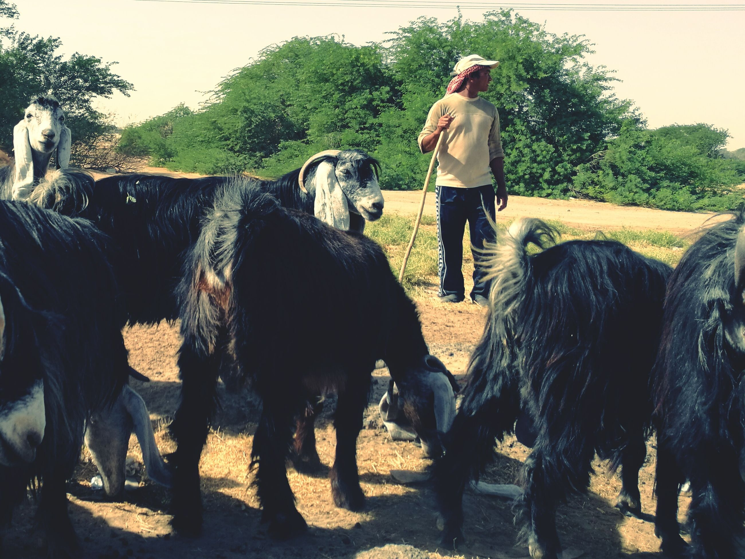 domestic animals, mammal, full length, tree, leisure activity, rear view, one animal, standing, lifestyles, casual clothing, livestock, horse, working animal, walking, field, person, outdoors, day, rural scene, young adult, casual