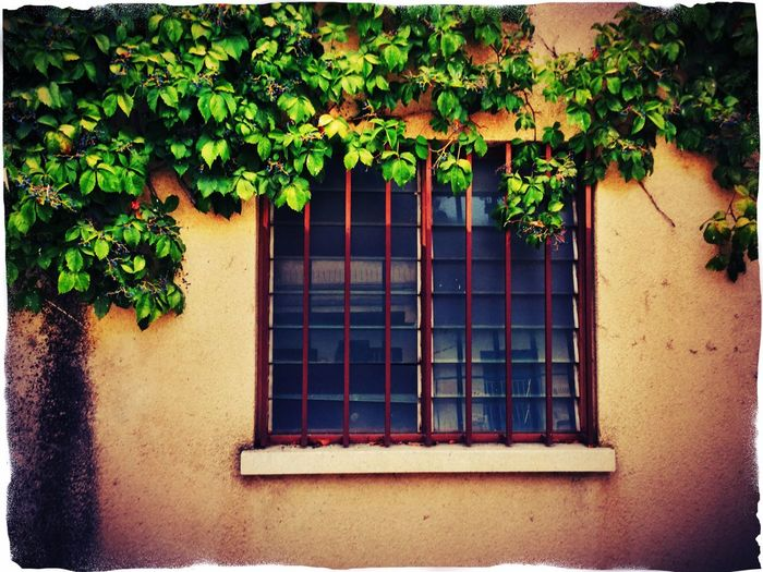 Window Leaf Growth Plant Wall - Building Feature Green Color Creeper Plant Outdoors Day Creeper Nature No People Growing Freshness Traces Of Water Textured  Residential Building Old Façade Vibrant Color Weathered Building Exterior Architectural Feature