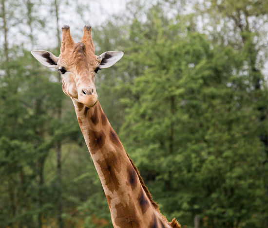 Animal Themes Animal Wildlife Animals In The Wild Beauty In Nature Close-up Day Focus On Foreground Giraffe Green Color Nature One Animal Outdoors Portrait Safari Animals EyeEmNewHere