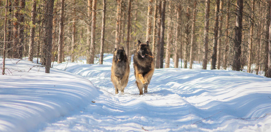 Belgian Tervueren Finland Lapland Scandinavia Snow ❄ Animal Animal Themes Belgian Shepherd Canine Cold Temperature Dog Forest Land Nature One Animal Outdoors Pets Plant Snow Tree Winter The Traveler - 2018 EyeEm Awards
