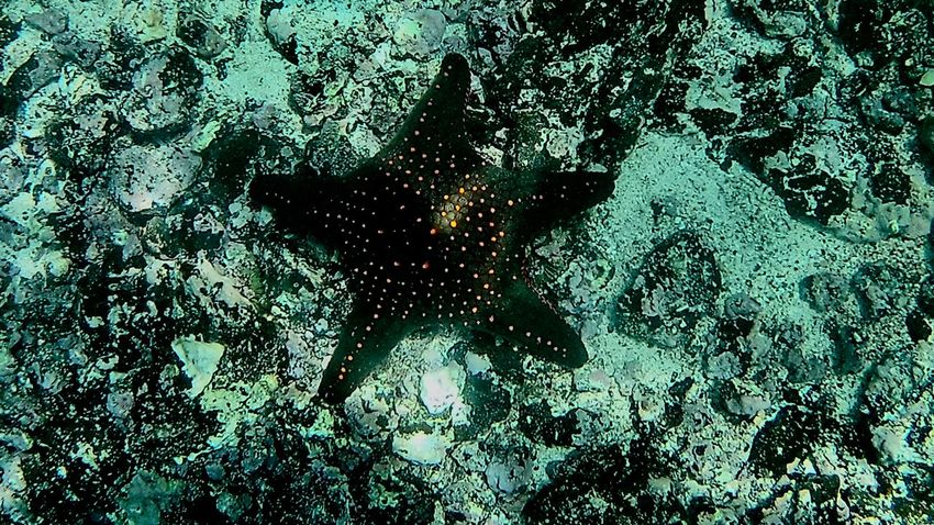 Starfish Snorkeling Starfish  One Animal High Angle View Animals In The Wild Animal Themes No People Sea Life Nature Animal Wildlife Outdoors Day Close-up Sea UnderSea Go Higher HUAWEI Photo Award: After Dark