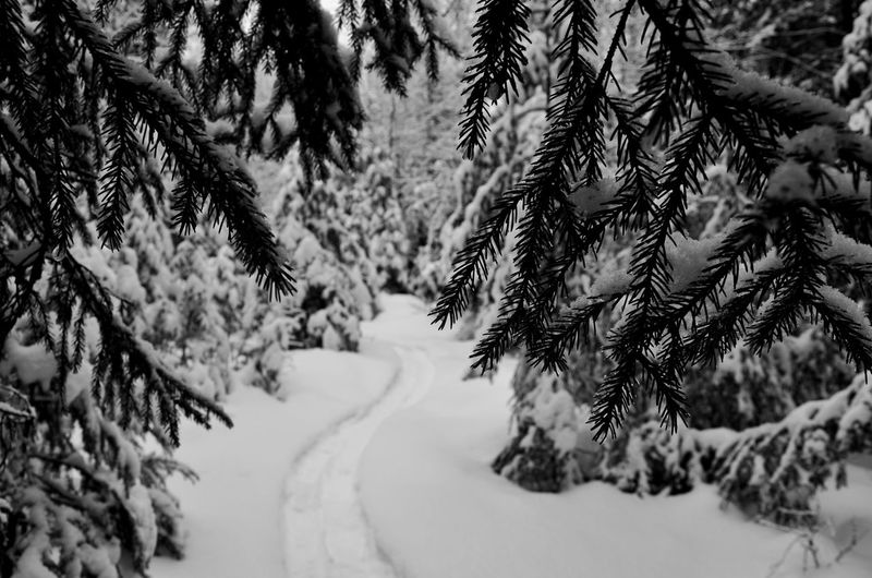 Tree Snow Mountain Cold Temperature Winter Forest Fir Tree Pine Tree Curve Pinaceae My Best Photo