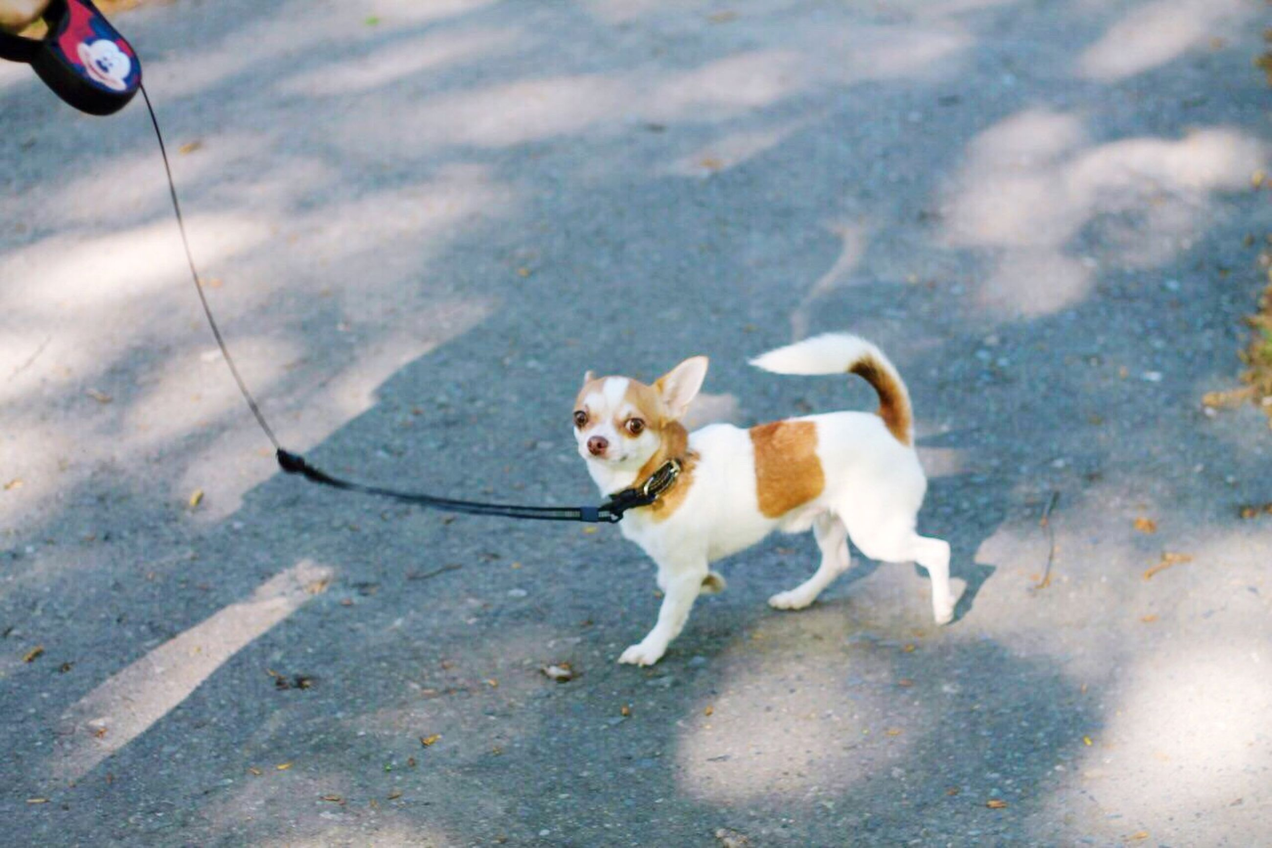 domestic animals, animal themes, pets, dog, one animal, mammal, street, high angle view, road, pet leash, full length, asphalt, shadow, standing, sunlight, outdoors, sidewalk, white color, day, road marking