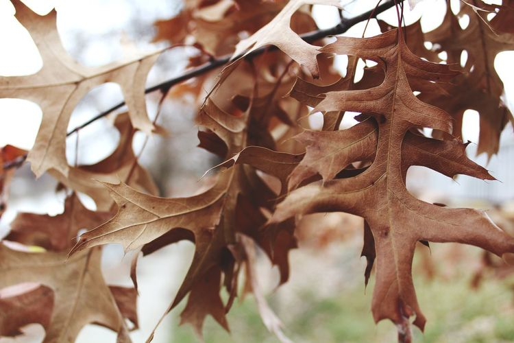 Crispy leaves. Close-up Nature Leaf No People Day Tree Outdoors Beauty In Nature Leaves Fall Beauty Fall Leaves Fall Colors