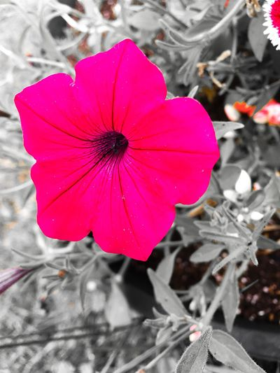 Flower Petal Fragility Pink Color Flower Head Freshness Beauty In Nature Growth Nature Day Blooming Close-up Outdoors No People Plant Petunia