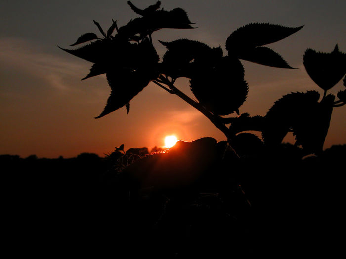Close-up of silhouette flowers against sunset