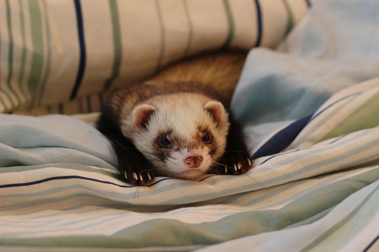 A boy Animal Themes Ferret Pets Chilling Relaxing Sleeping Indoors  Indoor Photography Lazy Leiden Leiden Netherland Portrait Looking At Camera Cute Animal Nose Nose At Home Animal Face