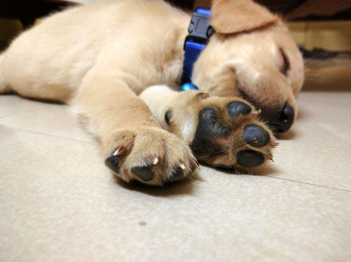 Close-Up Of Puppy Relaxing On Rug At Home