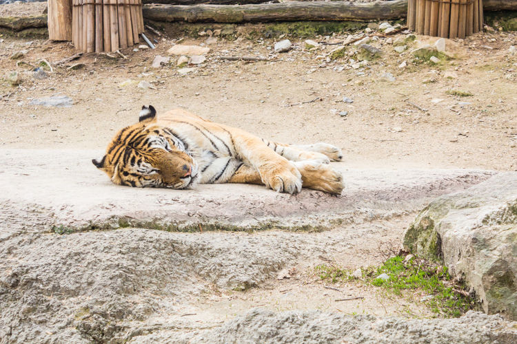 View of cat resting on rock at zoo