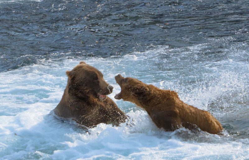 Two bears the water
