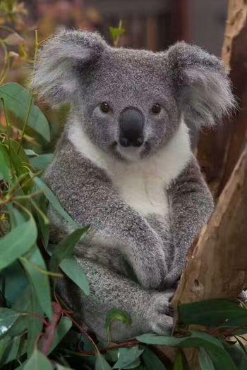 Koala Cute. Australia.