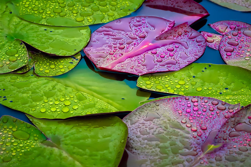 Botanical Gardens Burgandy Dew Dew Drops Fall Lilies Lily Lily Pads Lime Green Pads Water Maximum Closeness