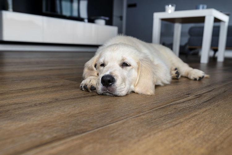 Portrait of golden retriever relaxing on hardwood floor