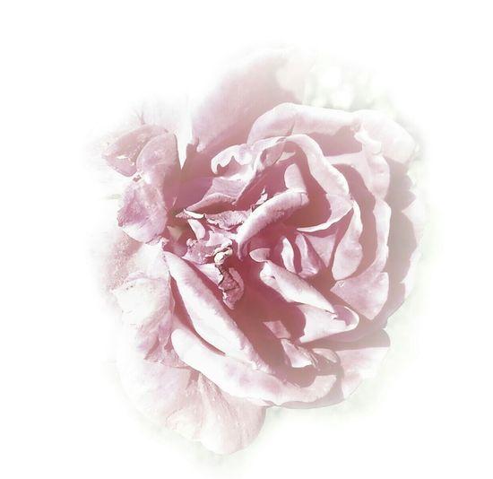 Macro_flower Macro Nature Macro_collection Rose🌹 Studies Of Whiteness EyeEm Best Shots EyeEm Best Edits AntiM Lotus Temple Macro Beauty Pastel Power