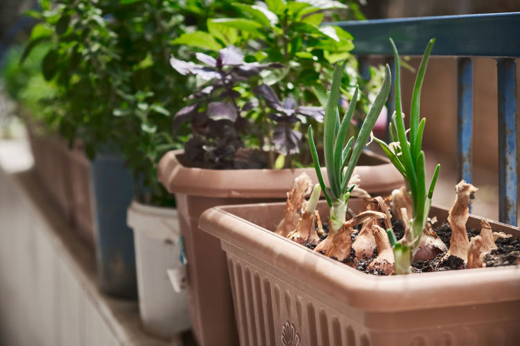 Sprouted onions, basil and other greenery grow in a flower pot. garden on the balcony