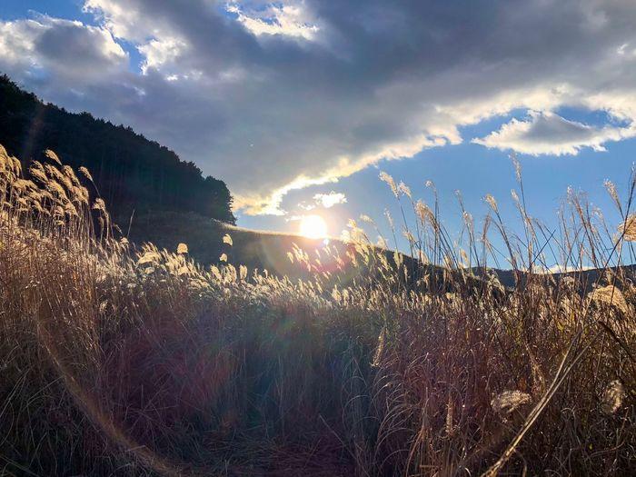 色々な境界が見えてくる。 Pampas Grass Japanese  Backlight Sunset Silhouettes Sunset Sunbeam Sky Nature Sun Lens Flare Field Sunlight Tranquility Growth Beauty In Nature Cloud - Sky Mountain Outdoors Landscape Plant Day Scenics Tranquil Scene No People Grass