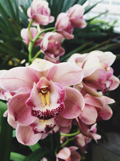 Pink Orchids Orchids Beauty In Nature Blooming Blush Pink Bokeh Close-up Day Flower Flower Head Fragility Freshness Growth Nature No People Orchid Flower Outdoors Petal Pink Color Pink Orchids Plant