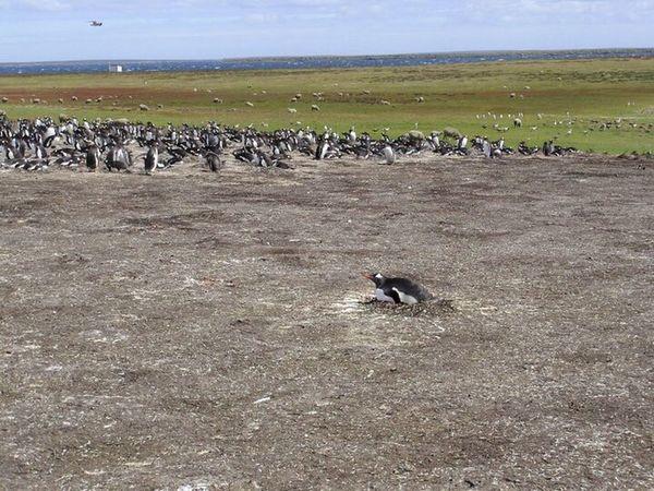Lone Gentoo Penguin Nest Outcast