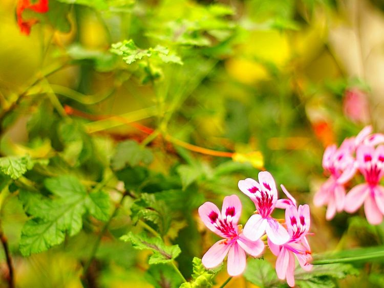 Showcase March EyeEm Flower Spring Time 春 EyeEm Nature Lover Bokeh Bokeheffect Takumar Fleshyplants Flowers Flower Collection Pink Petal Love