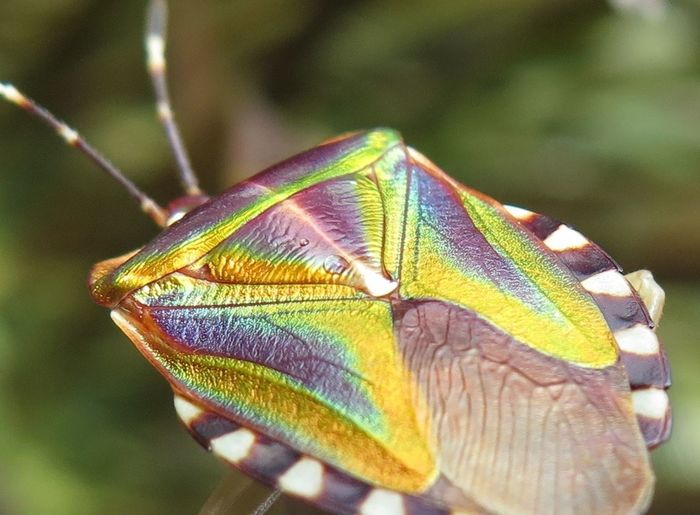 Bright Colors Colorful Shield Bugs Macro Photography Mattiphus Shield Bug Ready For Liftoff Close Up Nature Shimmeri Insects