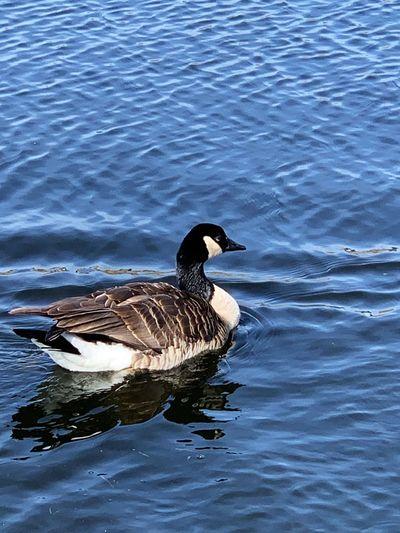 Canada Goose Water Animal Wildlife Animals In The Wild Bird Animal Themes Animal Vertebrate High Angle View Swimming Lake