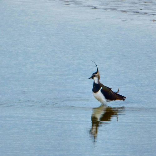 The Punk of the waders. Lapwing at Rspbpagham earlier this week Nature Photography Uknaturecollective Nature Wild Followme Ig_birdlovers Ig_birdwatchers Nuts_about_birds Wildlife Nature England Rsa_nature Ukwildlifeimages Springwatch Naturehippys @rspb_love_nature @sussexwildlifetrust
