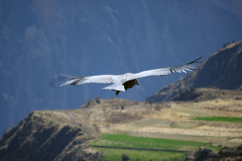 Close-up of a condor flying over the fields