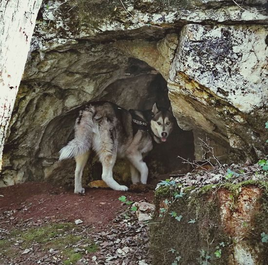 Husky Huskyphotography Wolf