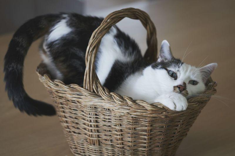 Cat lying in basket