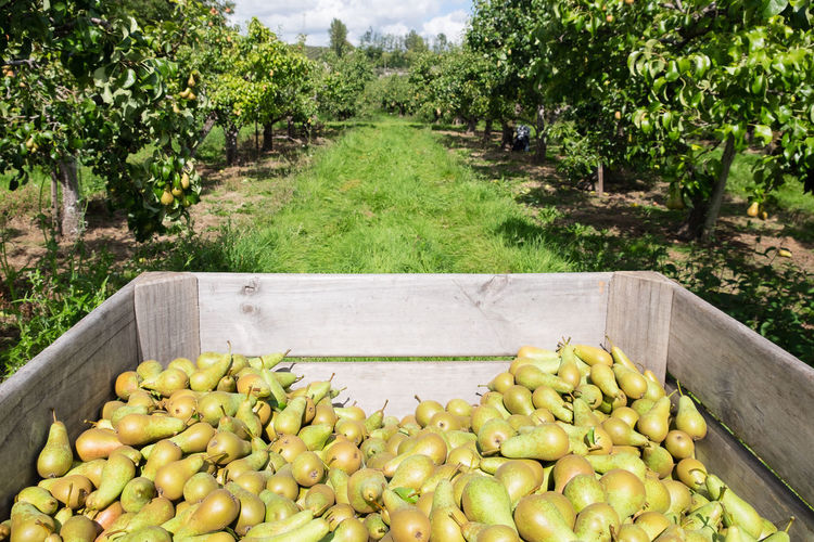 Pears in crate in fruit orchard Pear Orchard Seasonal Food Trees Abundance Agriculture Day Food Food And Drink Freshness Fruit Fruit Farm Fruits Green Color Growth Healthy Eating Large Group Of Objects Nature No People Orchard Outdoors Ripe Ripeness Rural Scene Seasonal Fruit Tree