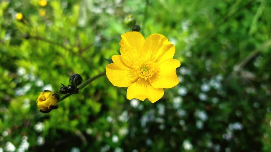 Butterflower Boterbloem Flowers,Plants & Garden Flower Collection Flower Petal Yellow Nature Beauty In Nature Plant Growth Fragility Freshness Focus On Foreground Outdoors One Animal Insect No People Flower Head Close-up Animal Themes Day Blooming Animals In The Wild