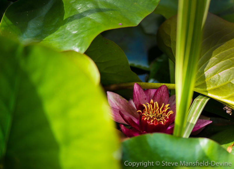 Lily flower in the pond Lily Pond Beauty In Nature Close-up Day Flower Leaf Macro Nature Plant