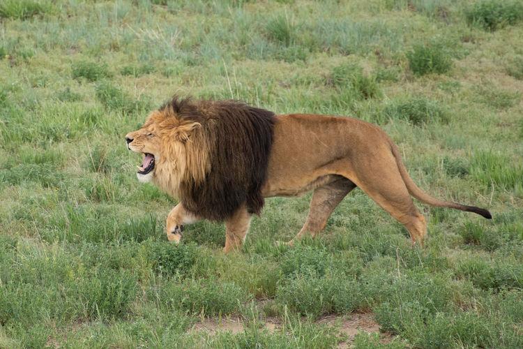 Lion Aggression  Animal Animal Themes Animal Wildlife Carnivora Feline Grass Lion - Feline Lions Male Animal Mammal Mouth Open No People One Animal Profile View Sanctuary  Side View