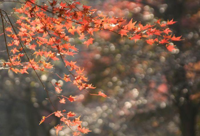 Autumn Kamakura Japan Red Nature Tree