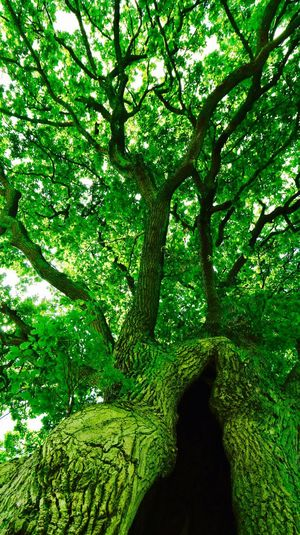 Oldest tree in