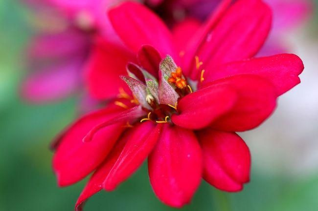 Flower Head Flower Zinnia  Petal Springtime Red Pollen Pink Color Close-up Plant Blossom Focus
