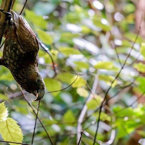"""Sup. I'm a kaka. Gimmi ya nuts"" Natureseekers Wildlife Birds Birding bird jj native parrot NewZealand potd photooftheday global_highlights"