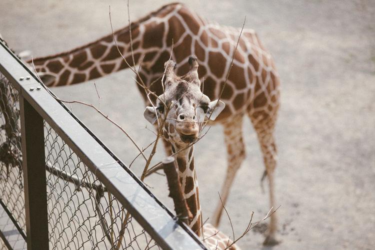 Taking Photos Giraffe Animal Zoo