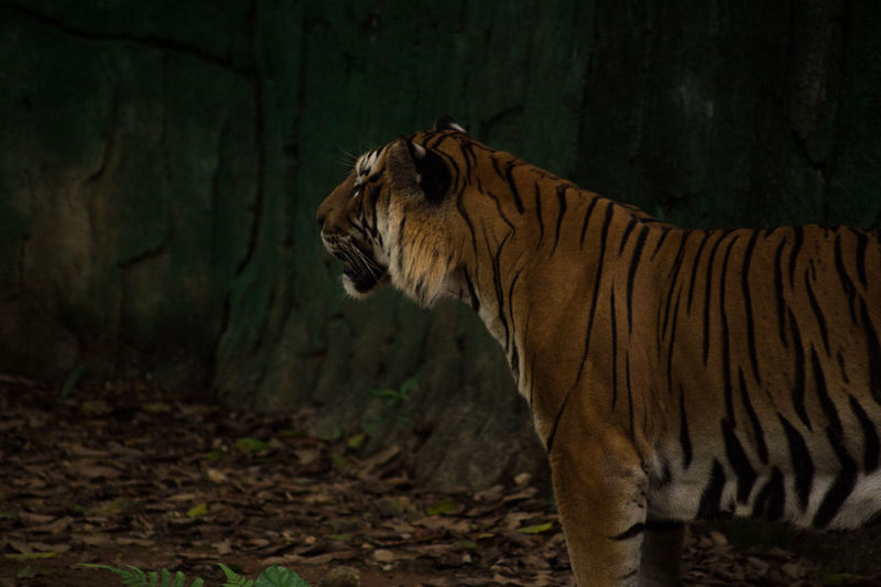 Side view of tiger at zoo