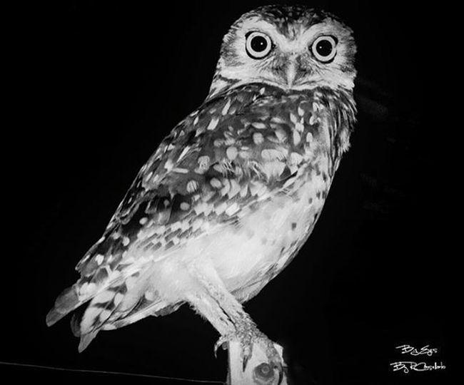 Coruja Bird Blackandwhite Pretoebranco Bw Instaphoto Instalike Dx300 Sony Maresias Owl Eyes Beautiful Instagood Animals Animalplanet Wild