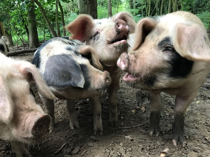 Three little pigs Three Little Pigs Down On The Farm Farm Animals are as Happy As A Pig In Mud!