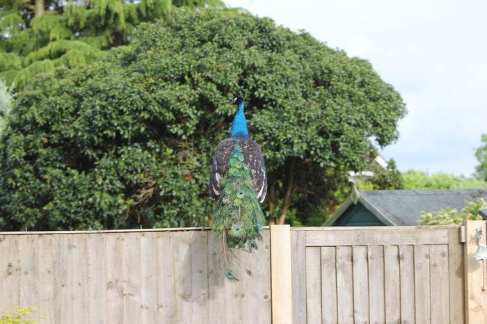 Bird Colourful Feathers Garden Nature Peacock Peacock Colors Peacock Feather Peacock Feathers Plant Wild