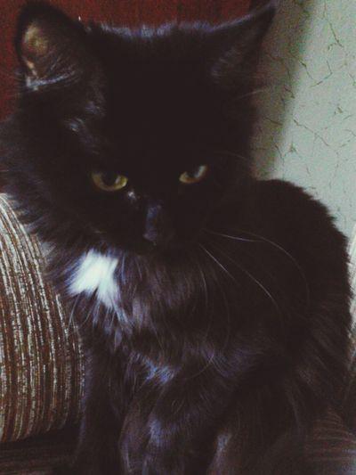 Animal Cat Black