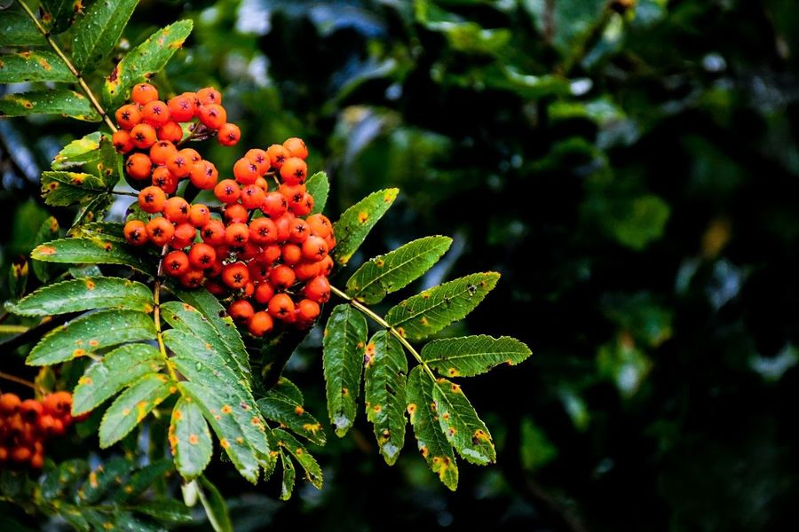 Rowanberry Berry Nature Tree No People Autumn Colors